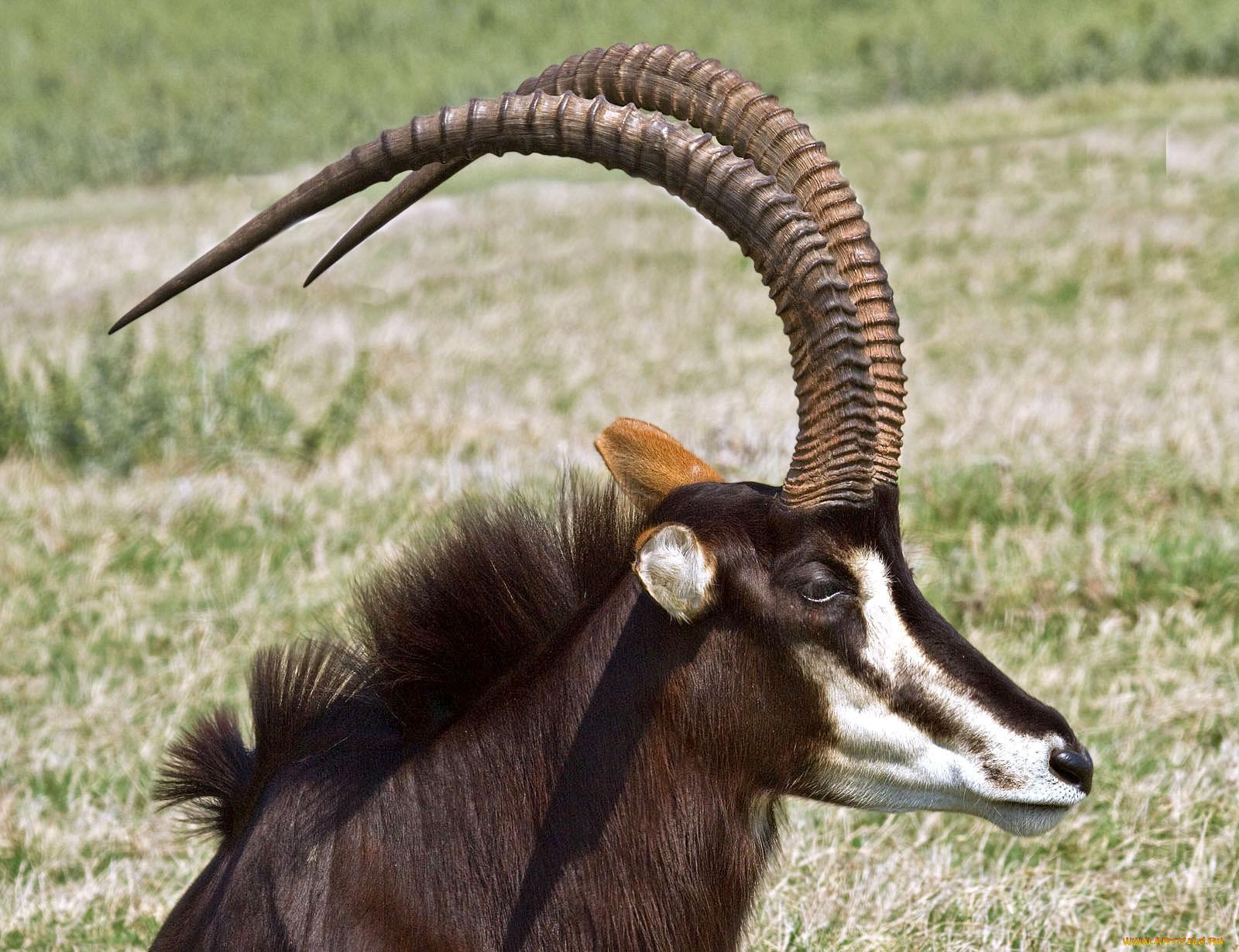былой козел он и в африке козел картинки устройства дают